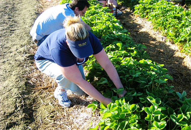 Rowes Strawberry Picking