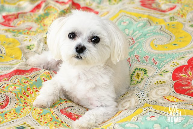 Sweet Parker Posey... our little maltese!