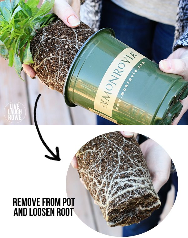 Tips for planting flowers in pots. Removing plant from pot and loosen root before planting. www.livelaughrowe.com