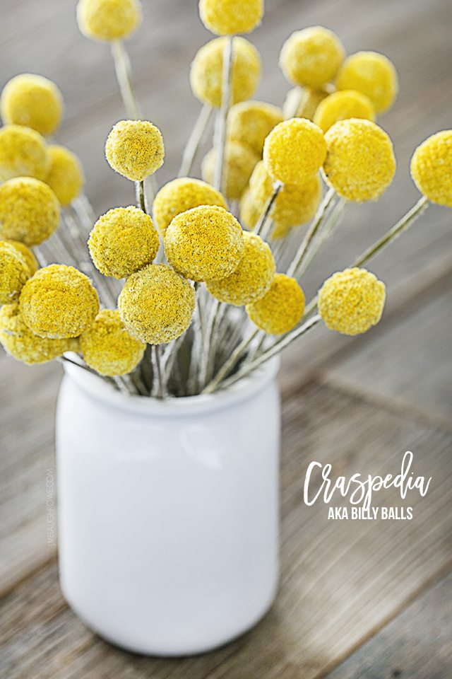 Little balls of sunshine! Craspedia (also known as Billy Balls) are my new favorite thing. Check out some of the great uses at livelaughrowe.com