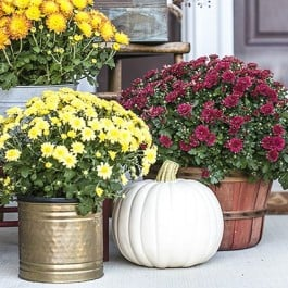 I love to fill my front porch with colorful mums -- the burgundy and yellows add such vibrant fall colors. livelaughrowe.com