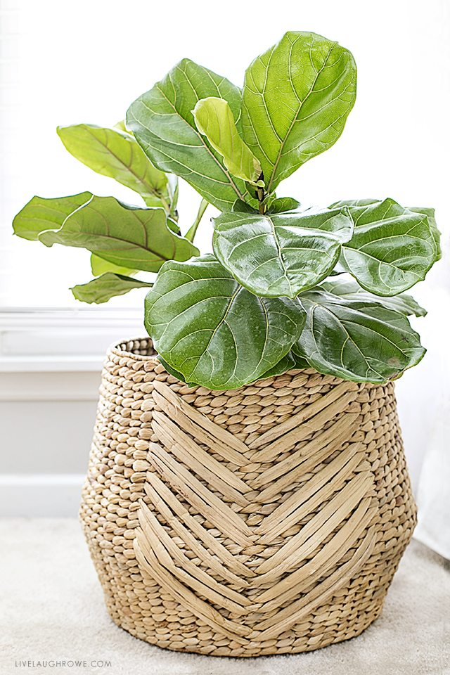 the fiddle leaf fig tree is a perfect indoor plant that is a low maintenance plant - Fiddle Leaf Fig Tree