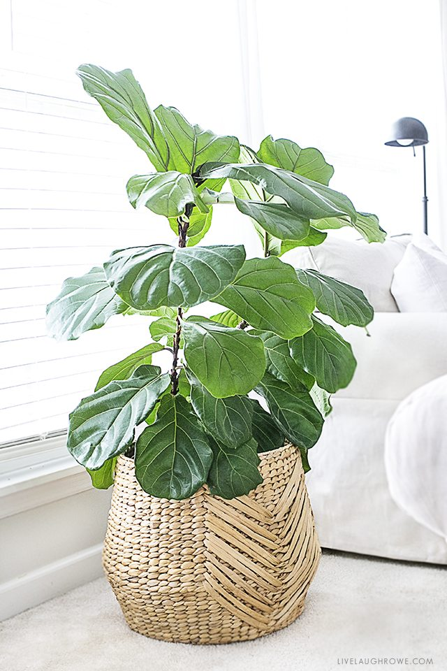 the fiddle leaf fig tree is a perfect indoor plant that is a low maintenance plant