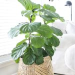 Fiddle Leaf Fig Tree | Tips for Care