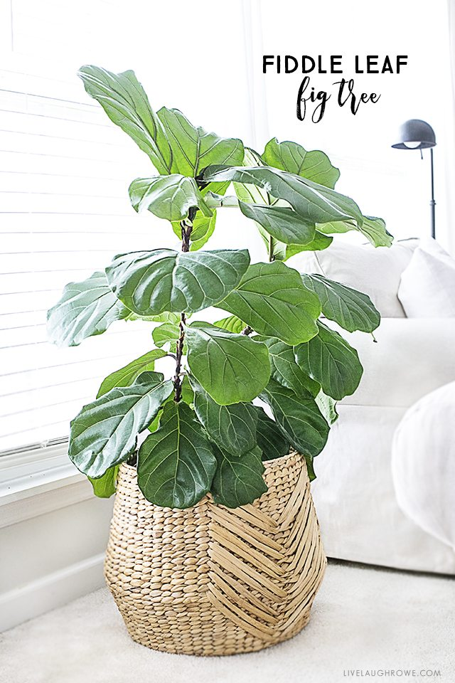 Fiddle leaf fig tree tips for care live laugh rowe for Indoor plant maintenance