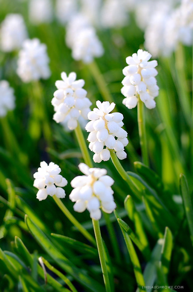 Beautiful white flowers in spring!